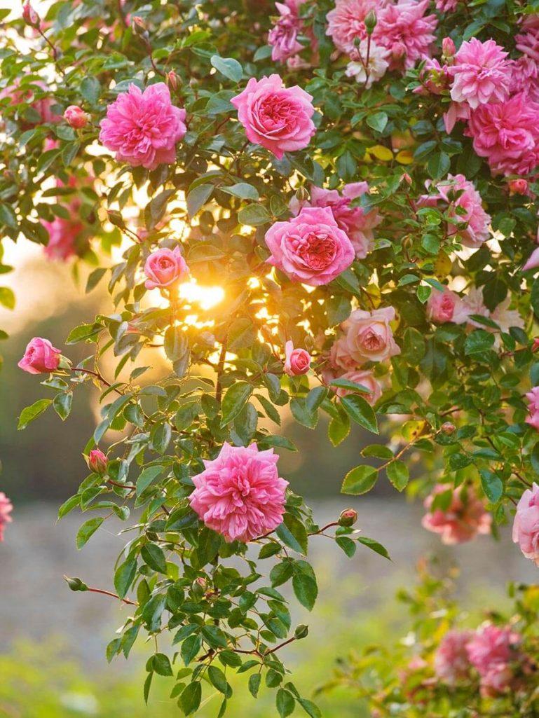EASTON WALLED GARDENS, LINCOLNSHIRE: WILDFLOWER MEADOW WITH PINK FLOWERS OF DAVID AUSTIN CLIMBING ROSE, RAMBLER ROSE - ROSA 'PAUL NOEL' - SHRUB ROSE, DAWN, SUNRISE